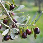 Olivy černé s peckou, Tremoceira, 500 g
